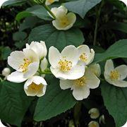 fiori gelsomino