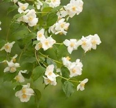 pianta fiori gelsomino