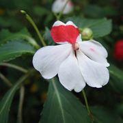 nuova guinea pianta