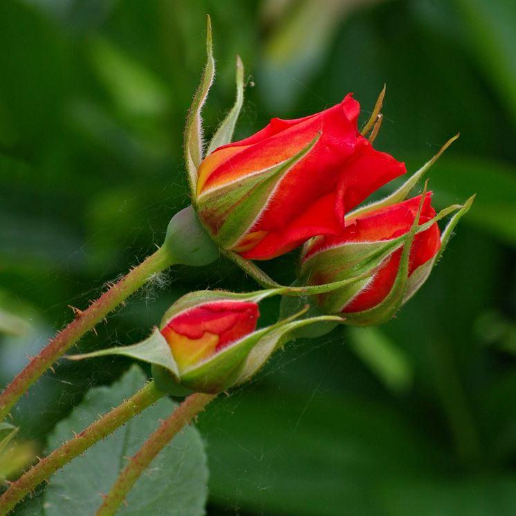 rosa botanica rossa