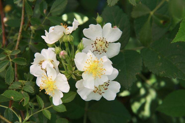 Rosa canina bianca