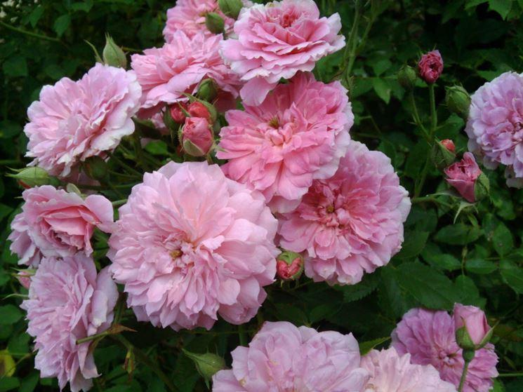 Rose polyantha a mazzi