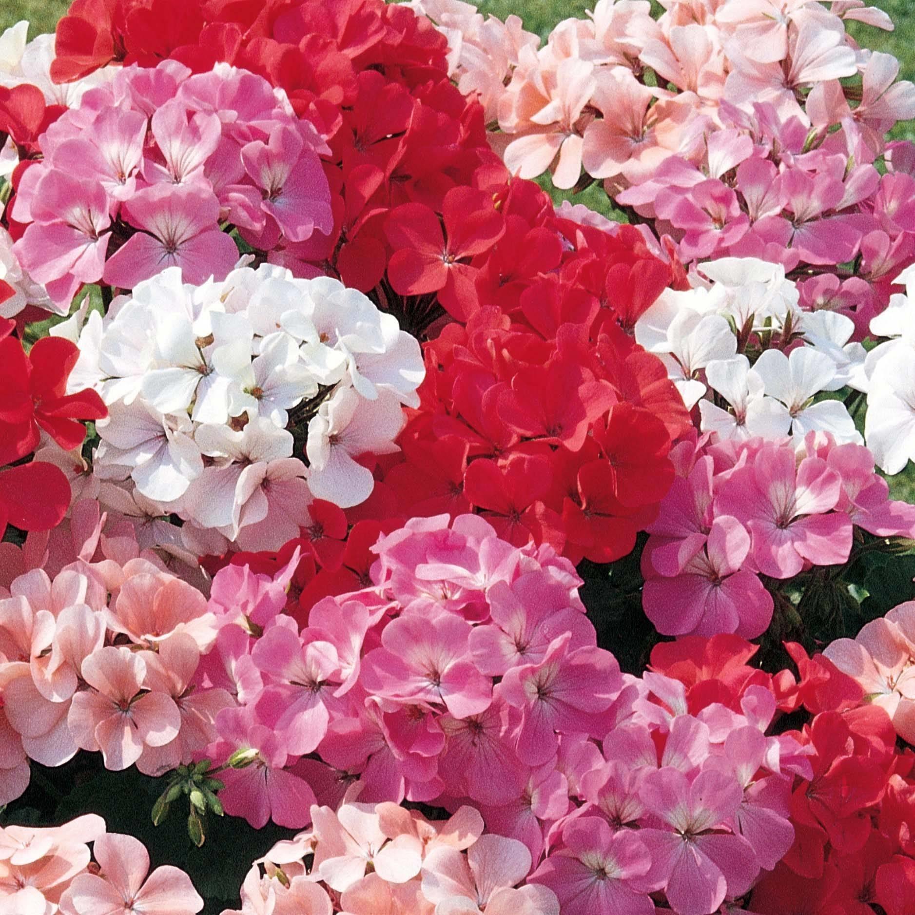 Variet del geranio fiori in giardino scopriamo for Fiori in giardino