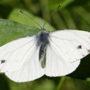 Un esemplare di pieris rapae, o farfalla cavolaia