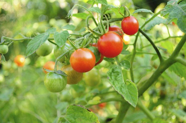 Pomodori: tengono lontane le cavolaie