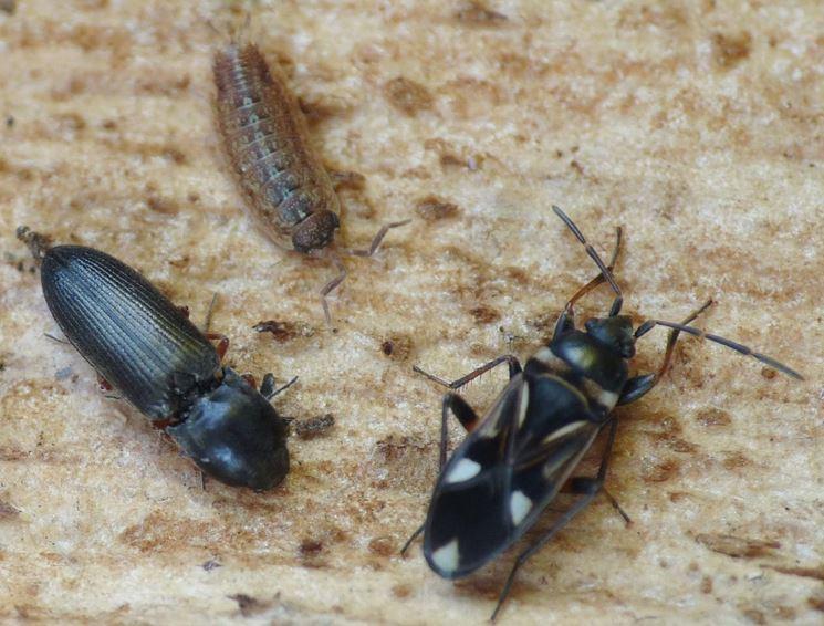 radici larve