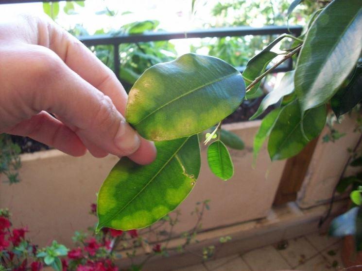 foglie infestate