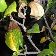 foglie gelsomino