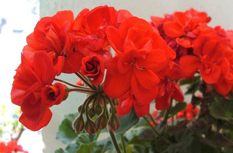 Esempio di un fiore di geranio. Fonte: www.theblazonedpress.it
