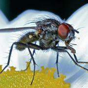 mosca del cavolo