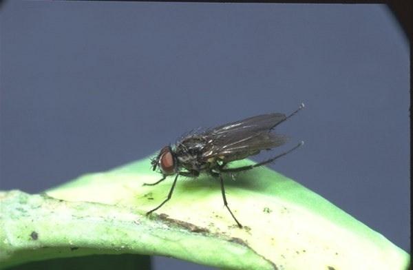 mosca del cavolo parassiti e malattie piante come combattere la mosca del cavolo. Black Bedroom Furniture Sets. Home Design Ideas