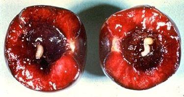 larva interna
