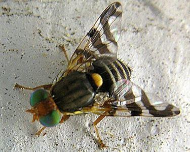 mosca maschio