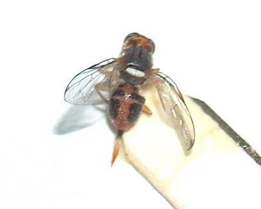 La mosca ingrandita