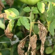 malattia piante