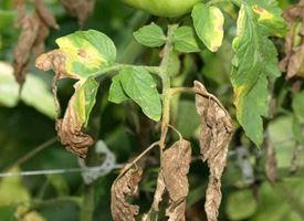 Principale malattie delle piante