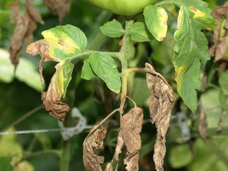 Ficus Benjamin Perde Foglie Parassiti E Malattie Piante Il Ficus