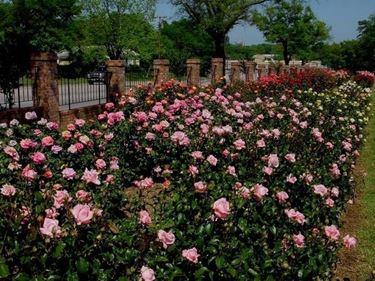 Splendide rose in salute