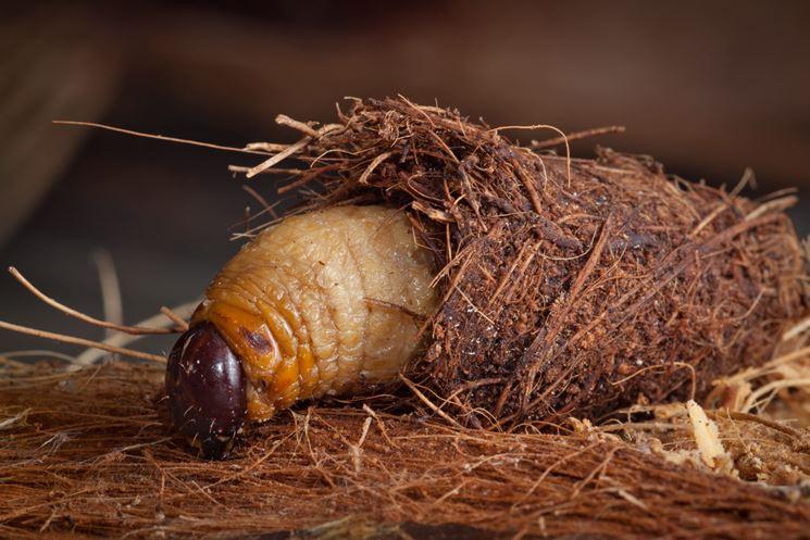 larva oziorrinco