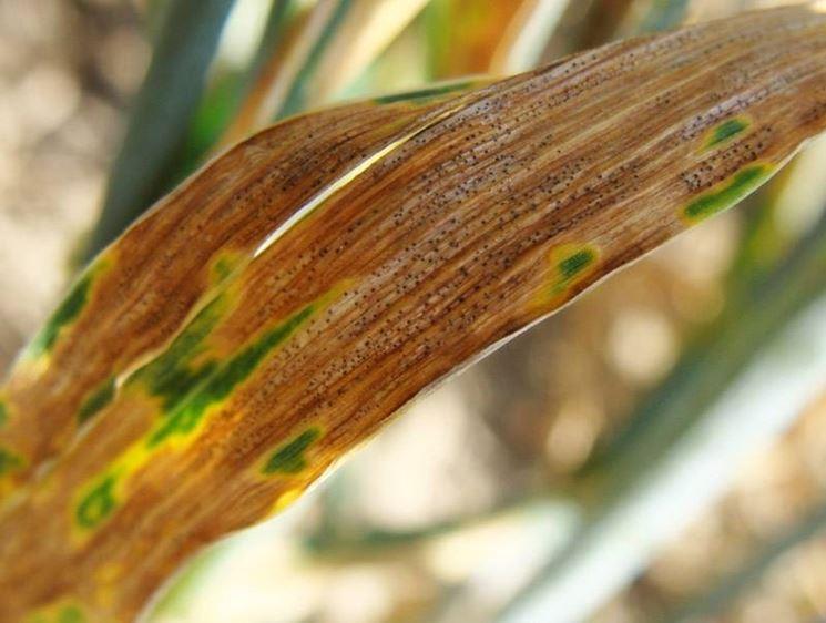 patologia fungina