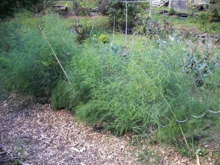 Piante di asparagi in orto