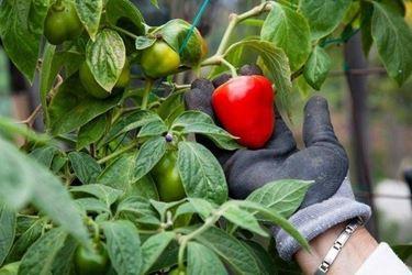 peperoni particolare frutto