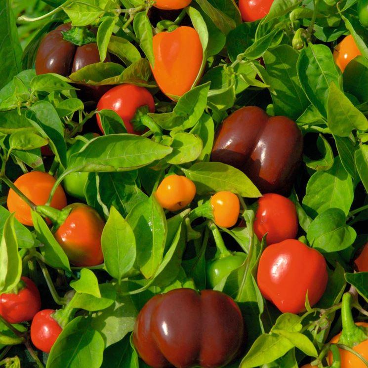 peperoni ornamentali