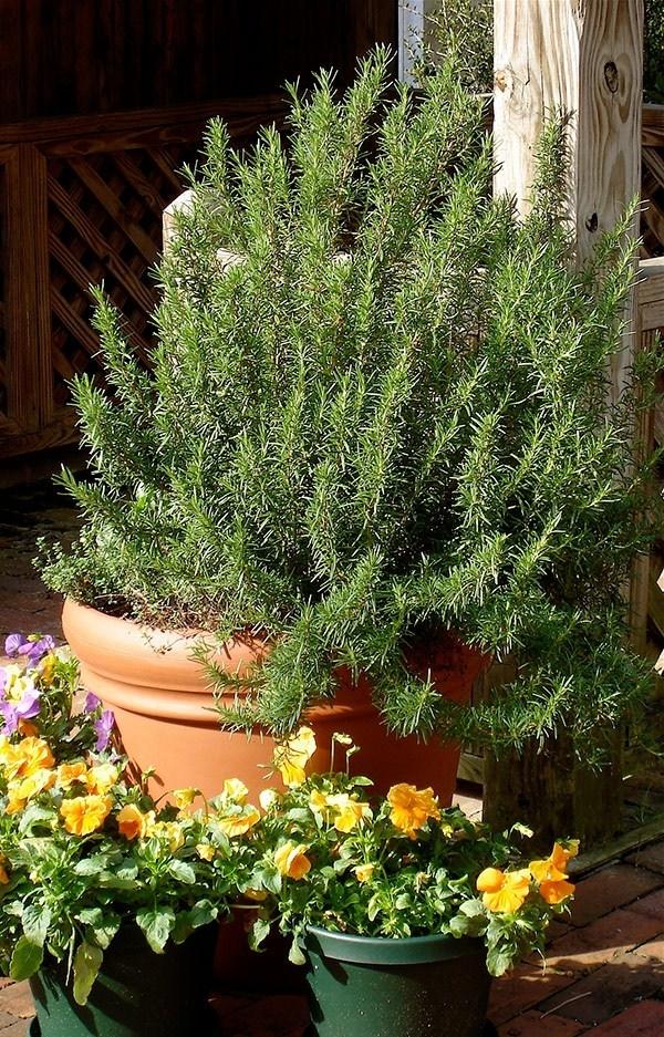 Coltivazione del rosmarino coltivare orto consigli per - Terriccio fertile ...