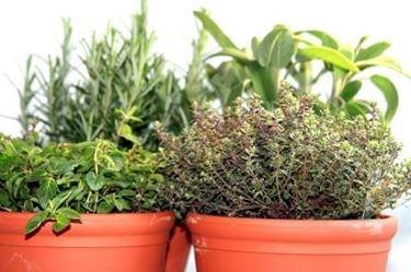 coltivazione timo