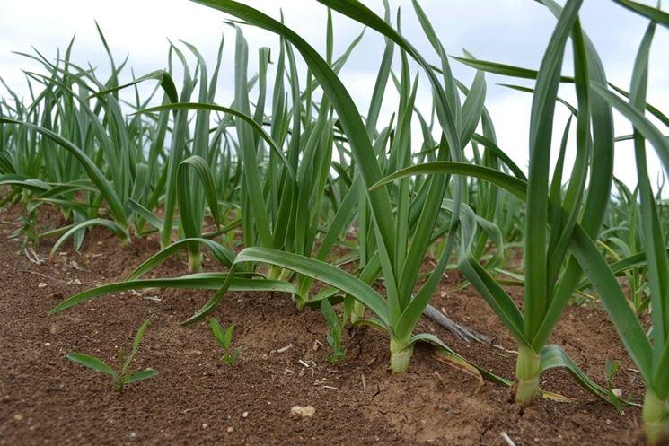 Coltivazione dell 39 aglio coltivare orto come coltivare for Piante da bulbo