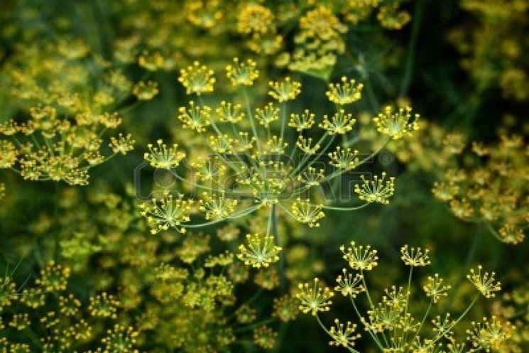 fiori aneto