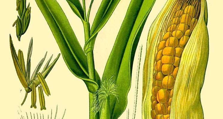 disegno botanico dello Zea Mays