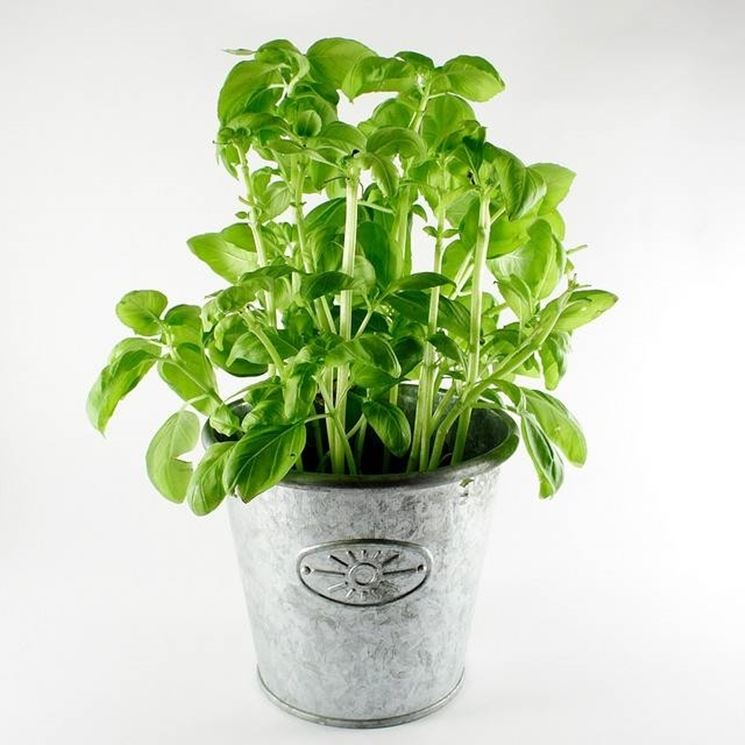 Come coltivare il basilico coltivare orto come for Basilico vaso