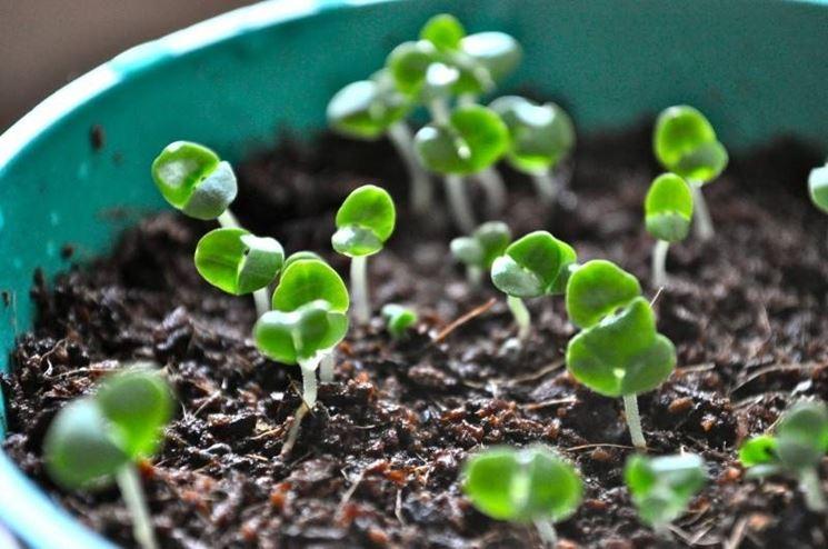 Come coltivare il basilico coltivare orto come for Coltivare il basilico