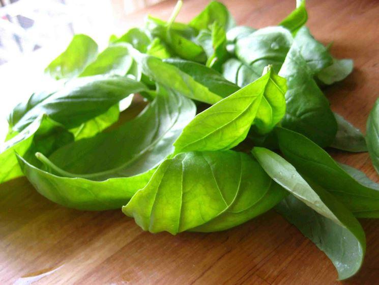 foglie di basilico adulto