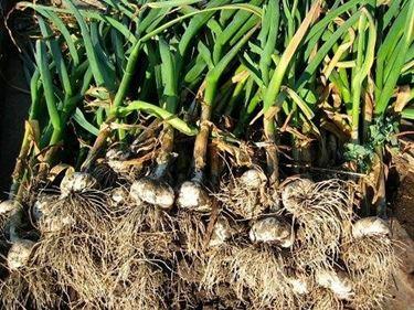 coltivazione aglio per orto sintetico