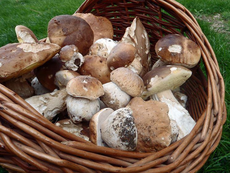 raccolto funghi porcini