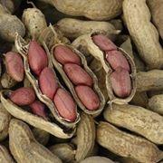 Coltivazione delle arachidi