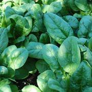 spinaci coltivazione