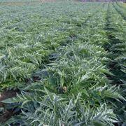 Campo di carciofi in piena vegetazione