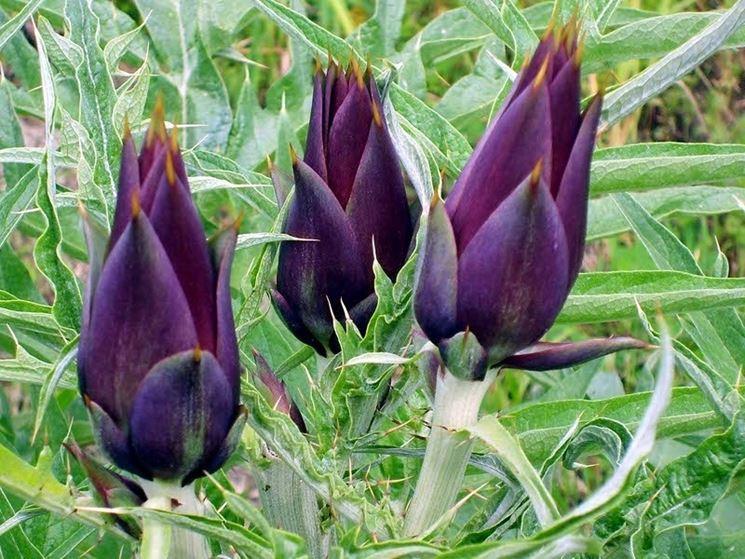 Carciofi violetti
