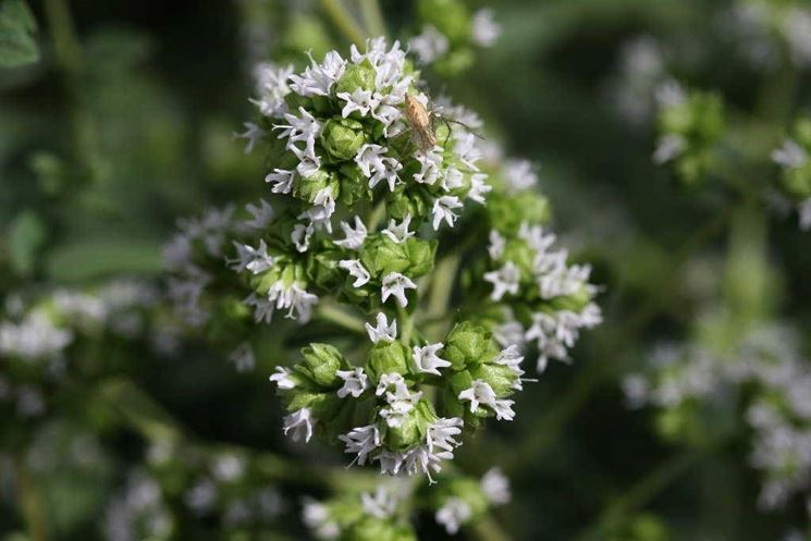 fiori maggiorana