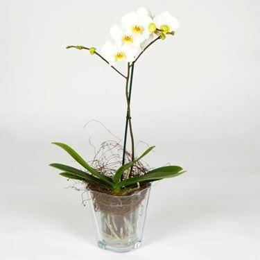 vaso trasparente orchidea