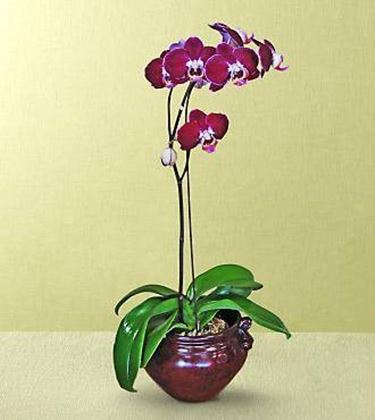 orchidea vaso coccio