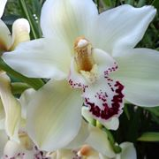 orchidea vaso