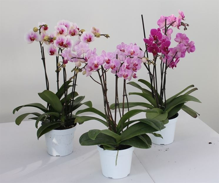 Orchidee Da Esterno.Come Avviene La Riproduzione Nelle Orchidee Cura Orchidee