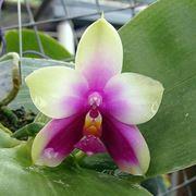 talea orchidea