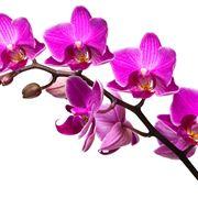 come coltivare orchidee