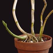 mini orchidea1