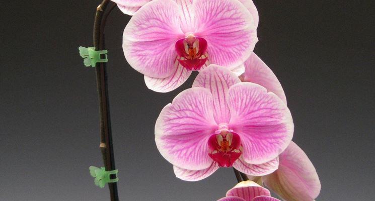 fioritura